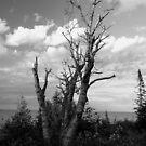 Birch Tree by jrier