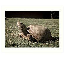 Desert Box Turtle Art Print