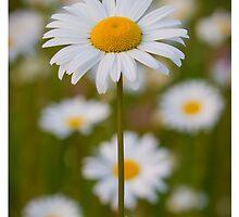 daisy flower by jtran