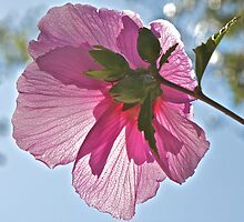 Rose of Sharon by John Butler