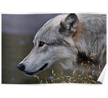 Yellowstone 2011 - Wolf Poster