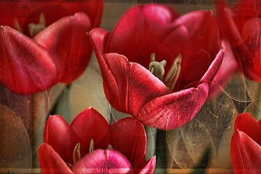 Tulip Abstract by Lynda Heins