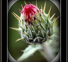 THISTLE by Diana Miller