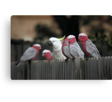Galahs and Cockatoo Canvas Print