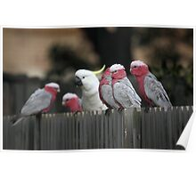 Galahs and Cockatoo Poster
