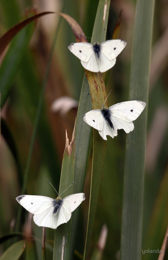 Three White Butterflies by yolanda