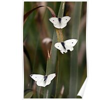 Three White Butterflies Poster