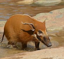 Red River Hog by Savannah Gibbs