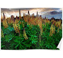 Show Your Beauty ~ Wild Lupine ~ Poster