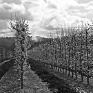 Spring Orchard in Black and White by pennyswork