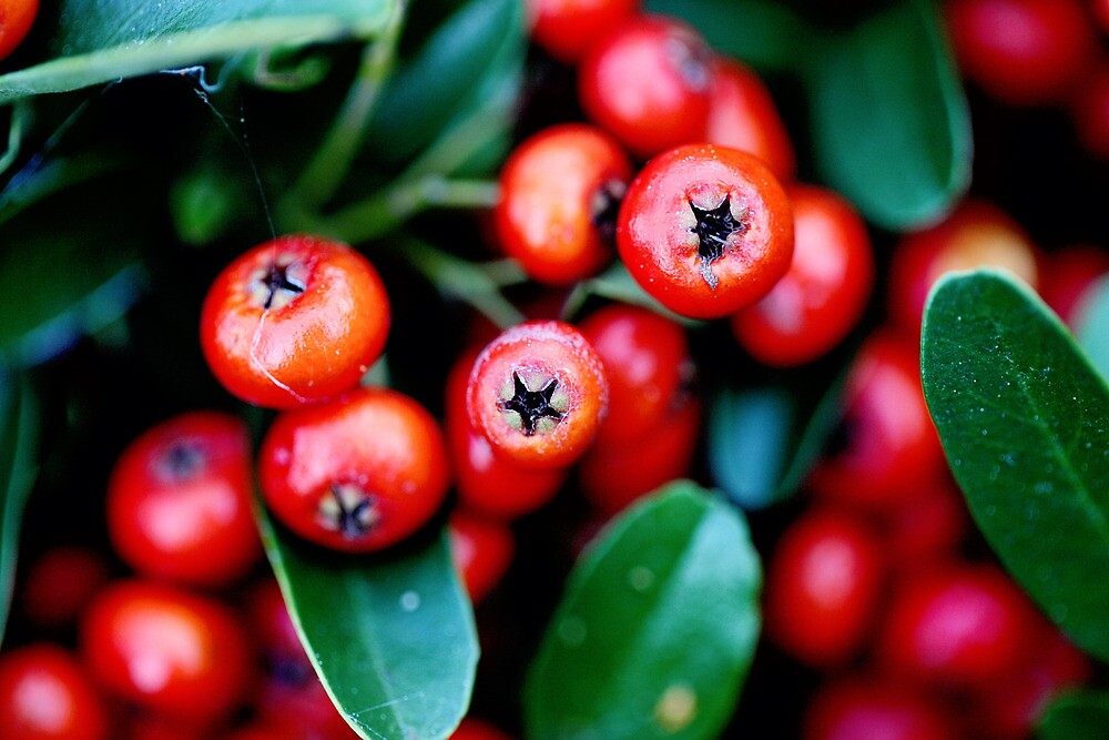 Berry Red by Sarah Moore