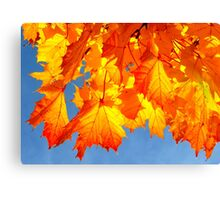 Golden maple leaves  Canvas Print