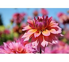 Sunset colors Dahlia Photographic Print