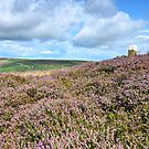 Sea of Heather, North Yorkshire Moors by apple88