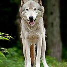 The Wolves of Parc Omega, Quebec, Canada by Mike Oxley