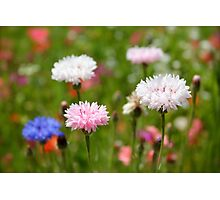 Blue, pink and white Cornflower, Bachelor Button Photograph Photographic Print