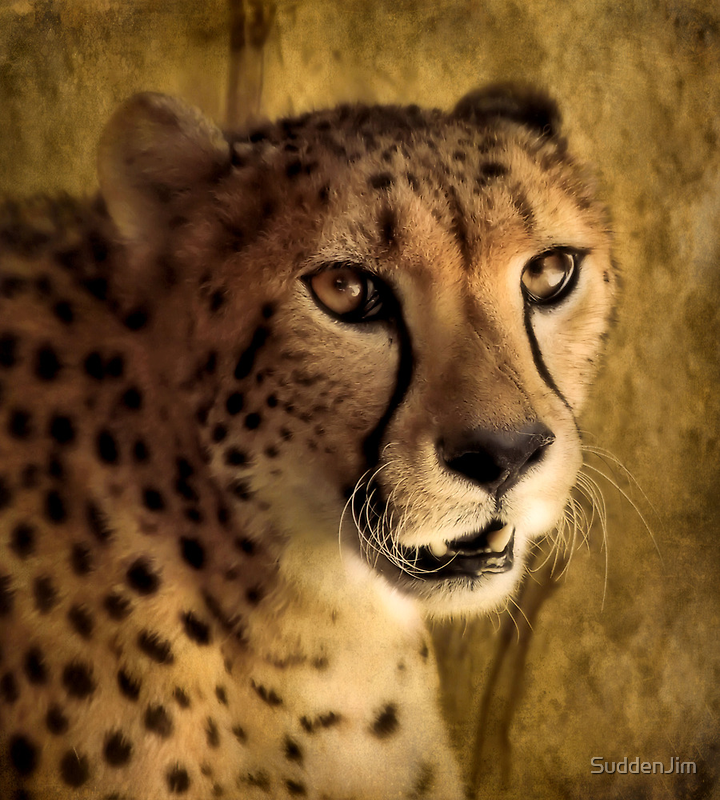 Cheetah by SuddenJim