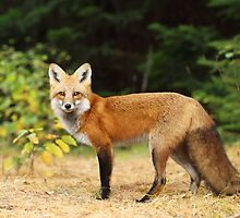 Yong Red Fox - Algonquin Park by Jim Cumming