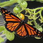 Beautiful Monarch Butterfly by vette