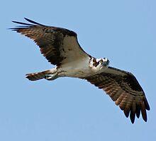 Osprey in Flight by Michael Mill
