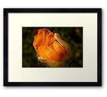 Gilded poppy bud Framed Print