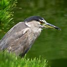 Heron watching for fish by Celeste Mookherjee
