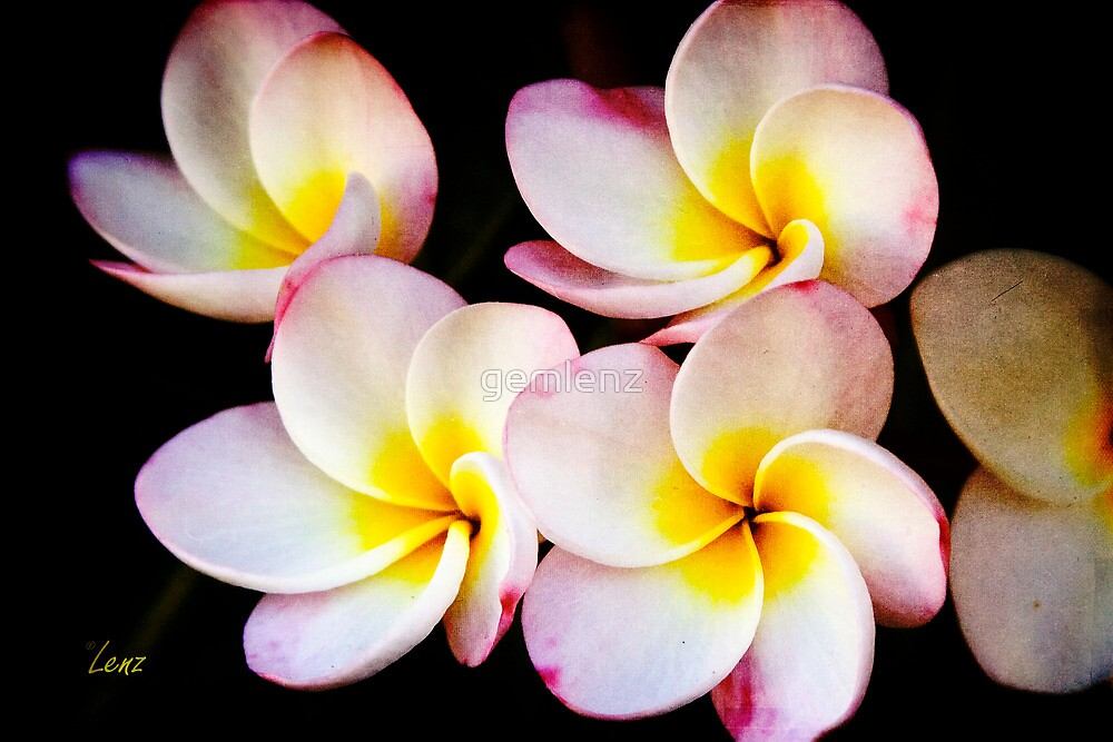 Plumeria Cluster by George Lenz