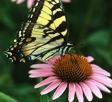 Swallowtail on Echinacea by Bill Spengler