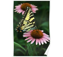 Swallowtail on Echinacea Poster