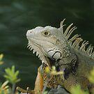 Iguana by Gregory L. Nance