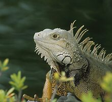 Iguana by Gregory L. Nance