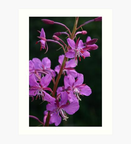 blooming fireweed, prince william sound Art Print