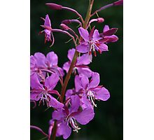 blooming fireweed, prince william sound Photographic Print