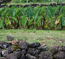 ancient hawai'ian taro terrace by Orna Izakson, ND, RH (AHG)