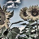 Sunflower Farm by DesertDweller