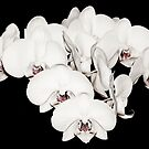 White Orchid on Black by yurix