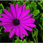 Purple Daze by Chet  King