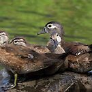 Wood Duck family by Rob Lavoie
