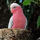 Male ~ Pink and Gray Galah  by Toni Kane