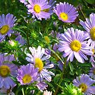 Asters by Maria1606