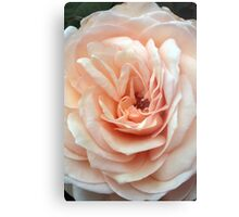 A Rose's Delicate Gown Metal Print
