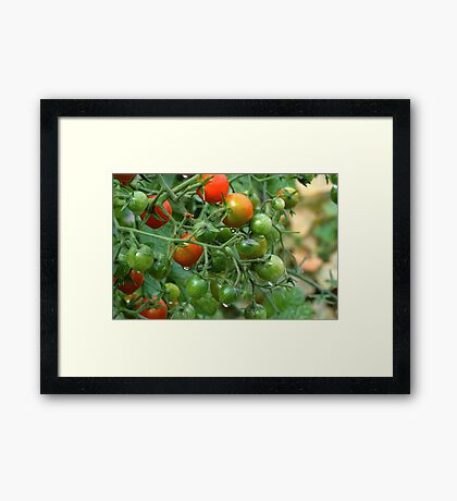 Wet Cherry Tomatoes Framed Print