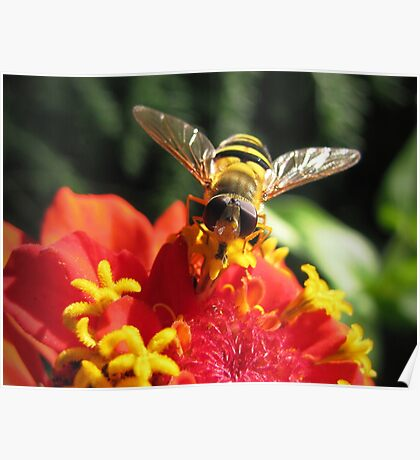 Hoverfly on a Zinnia Poster