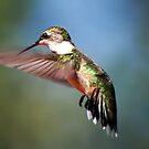 A Female Ruby Throated Hummingbird by barnsis