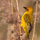 Cape Weaver by Lamprecht