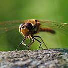 Dragonfly in Dunham Park, England #2 by Charles Howarth