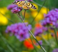 Painted Lady by novopics