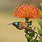 Sunbird and Protea by Lamprecht