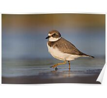 Strutting juvenile Semipalmated Plover. Poster