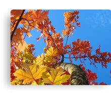 Fall Tree Looking Up Blue Sky Colorful Leaves art prints Canvas Print
